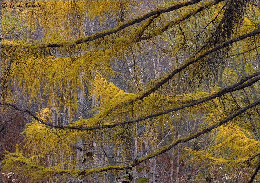 В царстве лиственницы