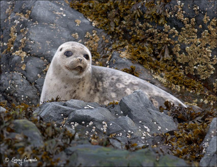 Молодой тюлень ларга