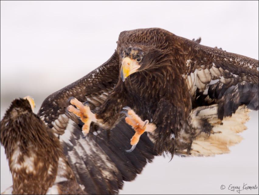 Белоплечий орлан атакует сородича