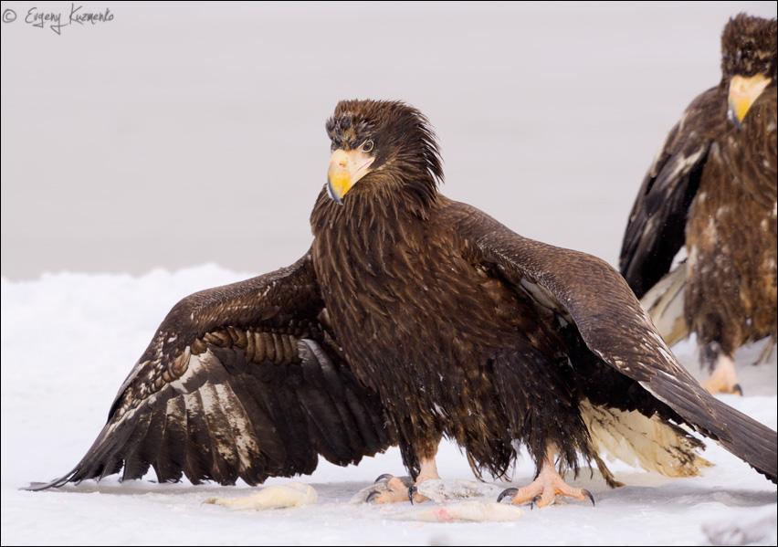 Белоплечий орлан закрывает крыльями отвоеванную добычу
