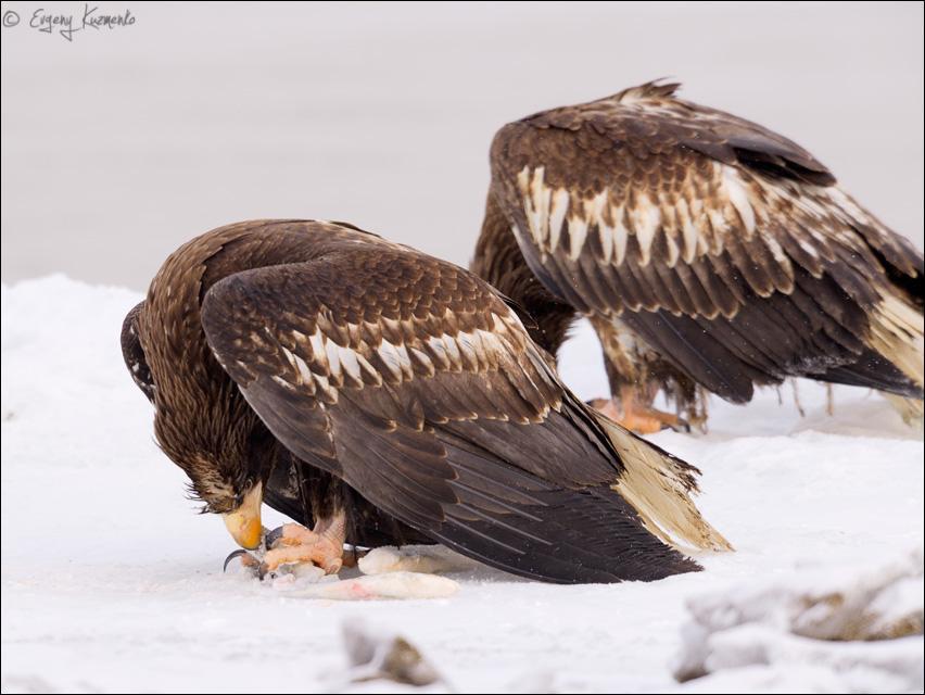Белоплечие орланы поедают добычу