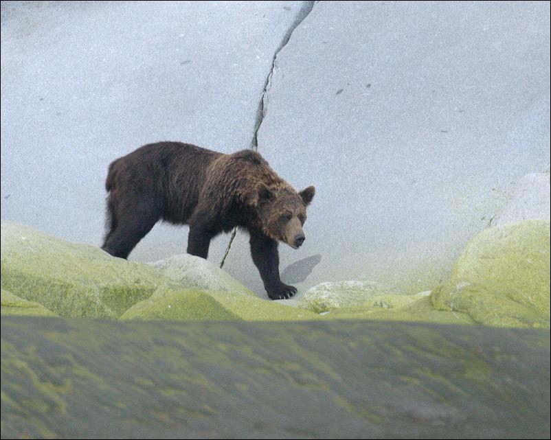 Медведь на о. Прокофьева