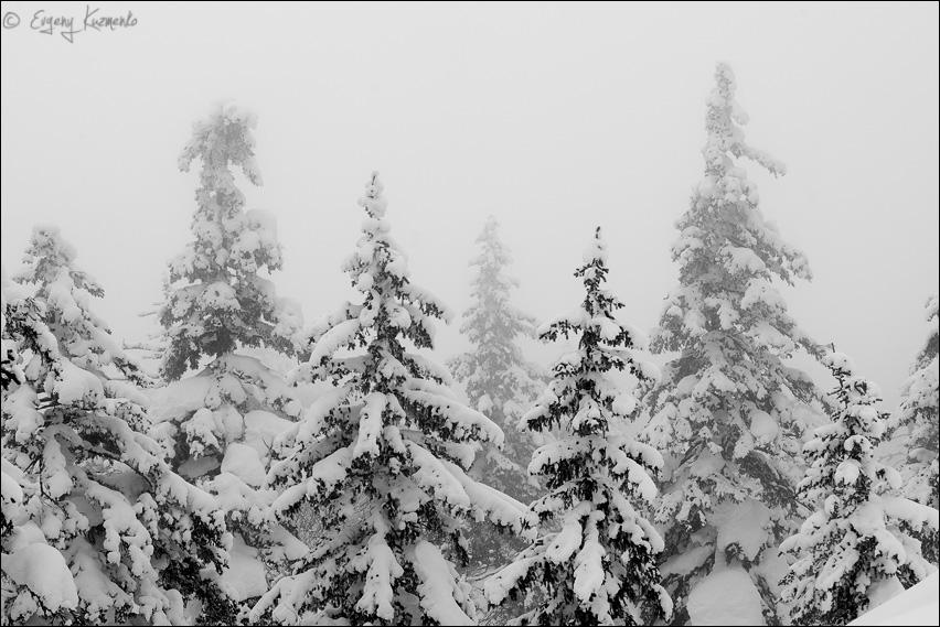 """Ели из """"Зачарованного леса"""" в густом тумане"""