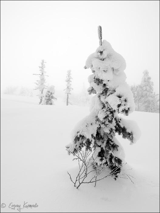 Замороженная елка