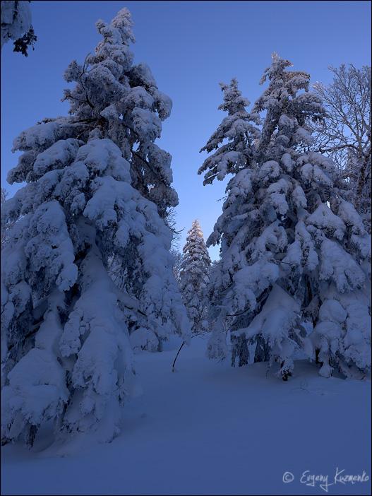 Еловый лес в синих тонах