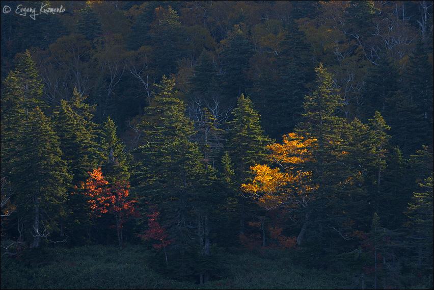 Контровой свет поджигает березу на фоне темных елок