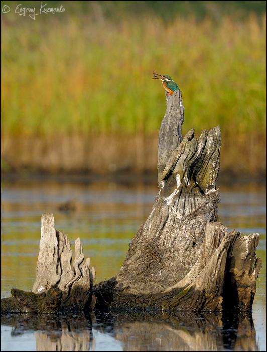 Обыкновенный зимородок