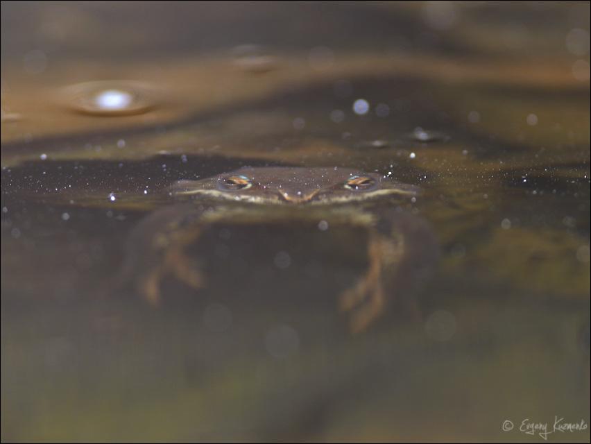 Лягушка под водой