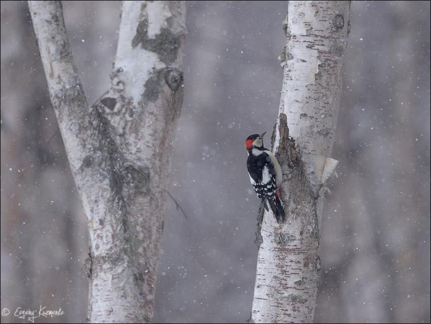 Большой пестрый дятел на березе под снегопадом