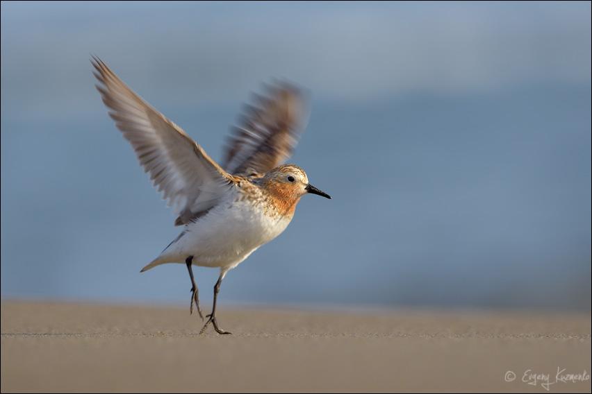 Песочник-красношейка взлетает
