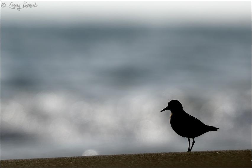Песочник-красношейка в контровом свете