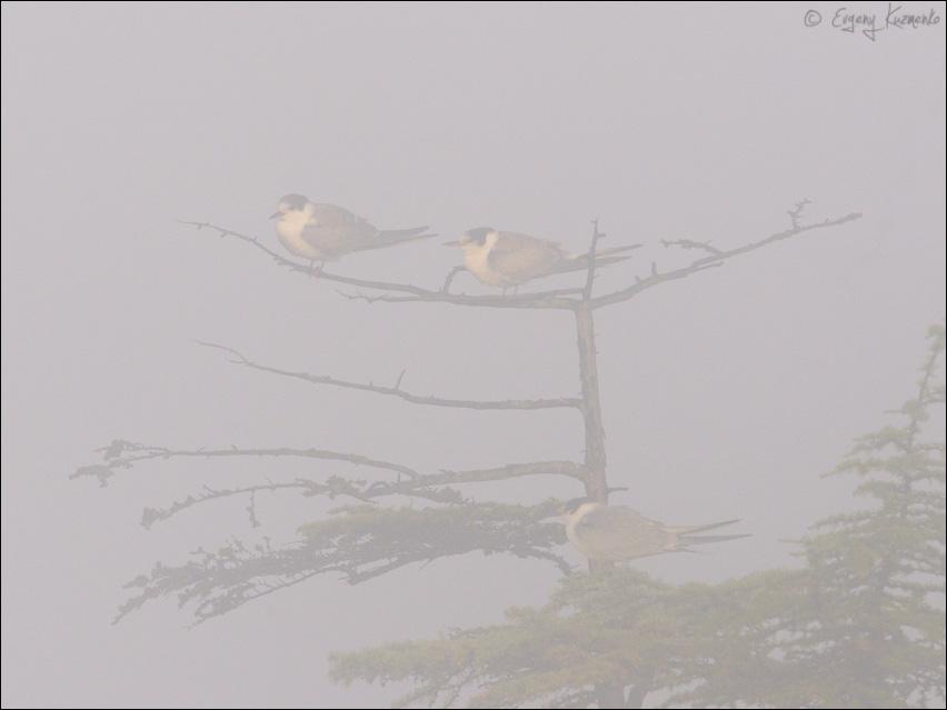 Крачки в тумане
