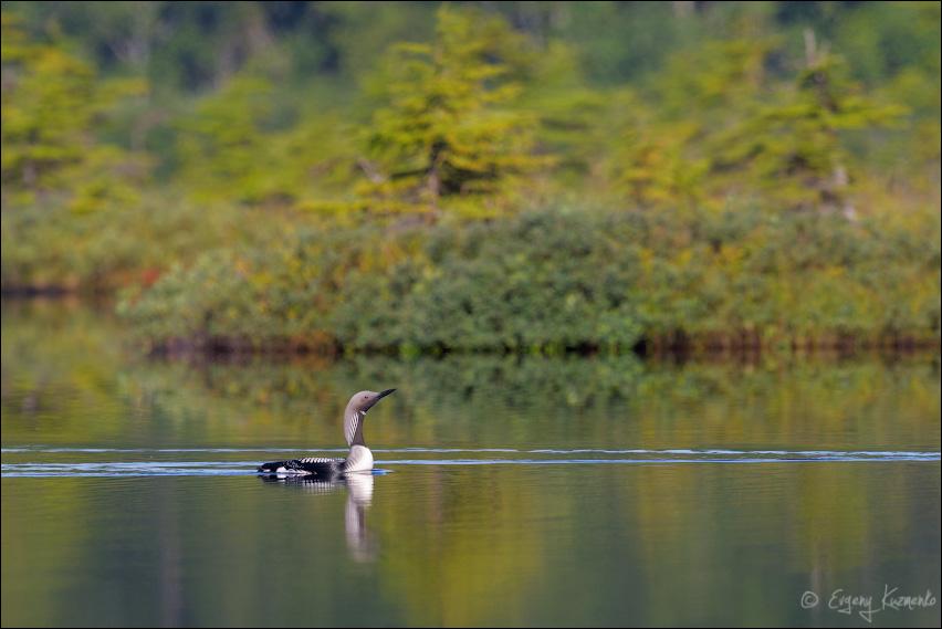 Чернозобая гагара на тундровом озере