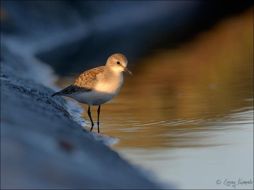 Песочник-красношейка