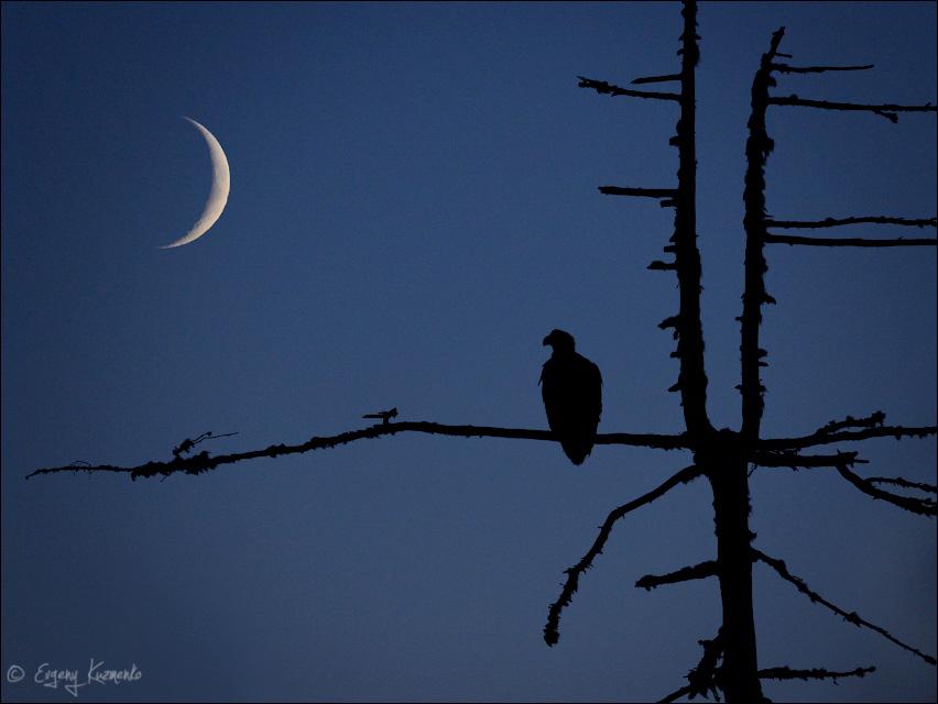 Белоплечий орлан под молодым месяцем