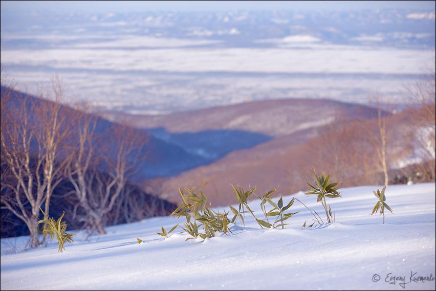 Бамбук, на заднем плане - Южно-Сахалинск