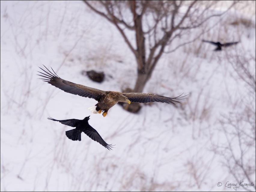 Ворона преследует орлана-белохвоста