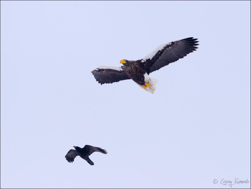 Белоплечий орлан и ворона