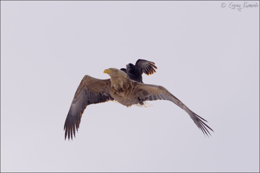 Орлан-белохвост и ворона