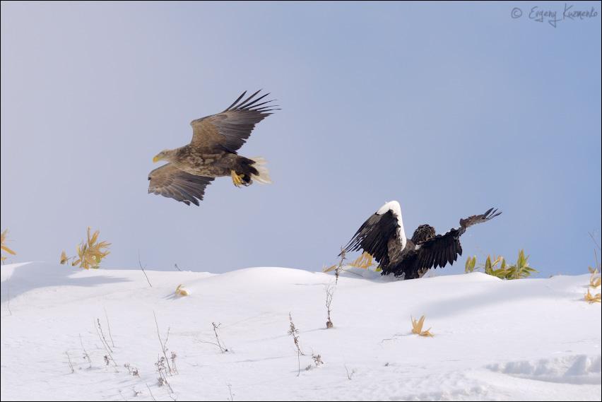 Орлан-белохвост атакует белоплечего орлана