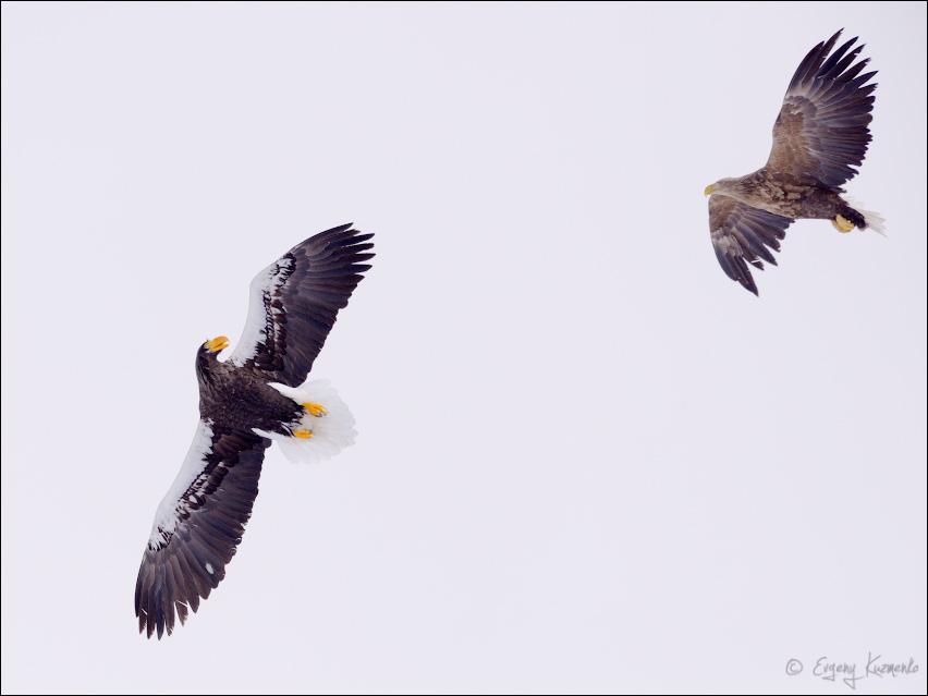 Орлан-белохвост нападает на белоплечего орлана