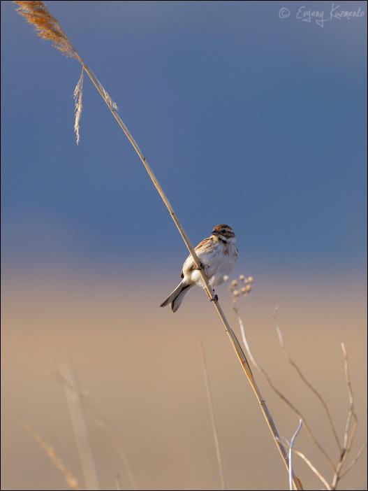 Тростниковая овсянка, самка