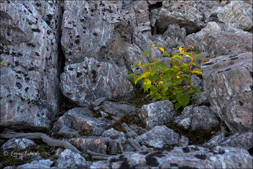 Молодая березка среди камней
