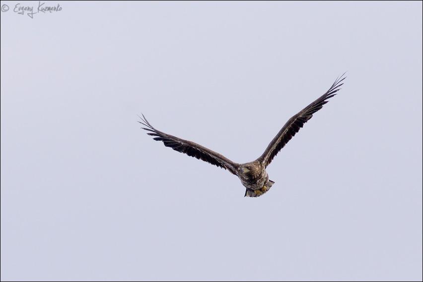 Молодой орлан-белохвост