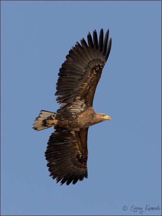 Орлан-белохвост в полете