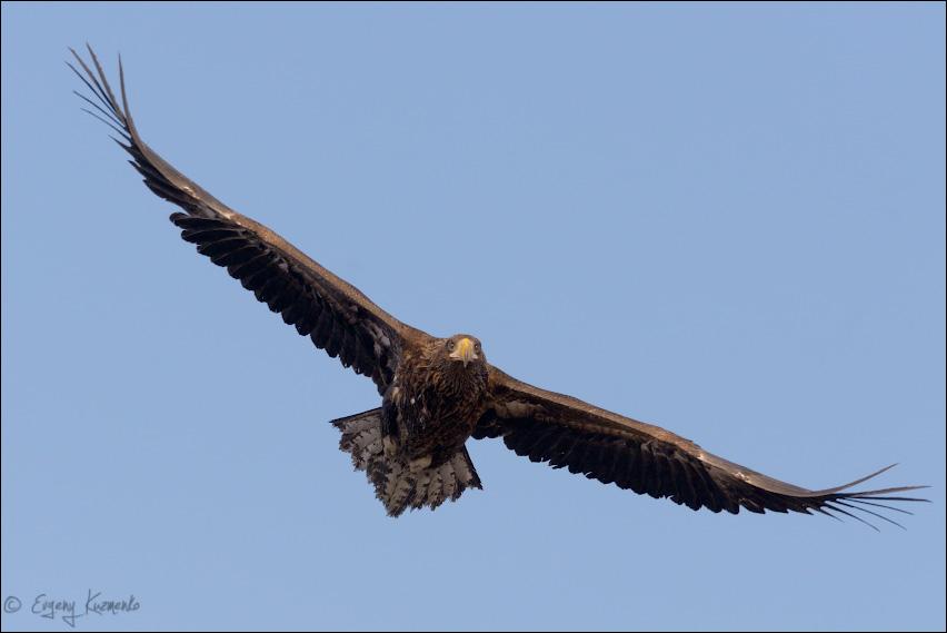 Молодой белоплечий орлан в полете