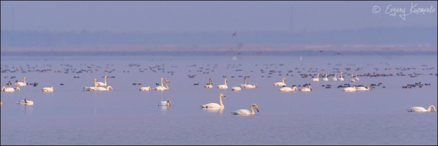 Лебеди-кликуны,  на заднем плане - свиязь