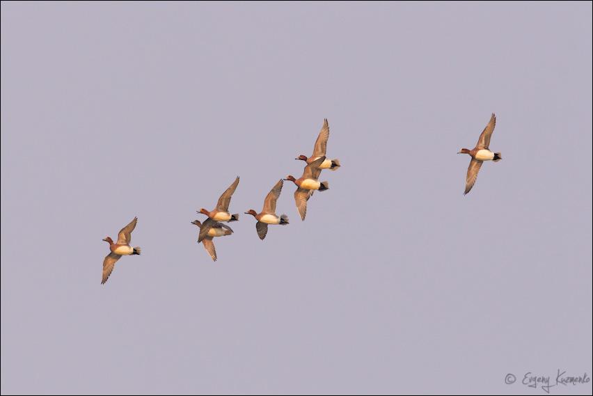 Табунок свиязей в полете