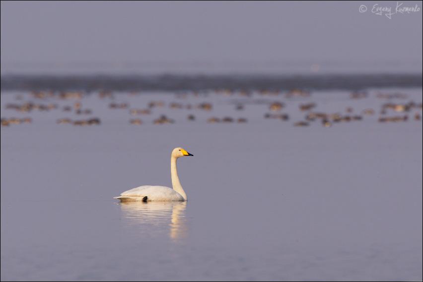 Лебедь кликун, на заднем плане - свиязь